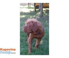 Bordoška doga, muško štene