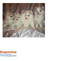 Sibirski haski stenci na prodaju