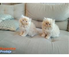 Perzijski mačići za usvajanje
