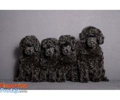 Crna Patuljasta Pudla štenad na prodaju