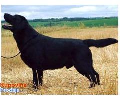 Labrador retriver, vrhunsko leglo