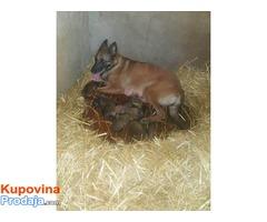 Belgijski ovcar MALINOA stenci na prodaju