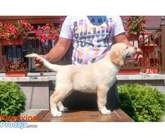 Labrador, beli stenci