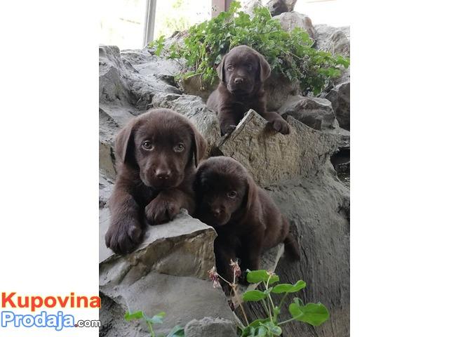 Labrador retriver stenci braon boje