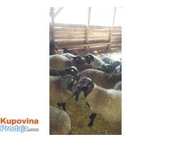 Umaticena romanovska jagnjad