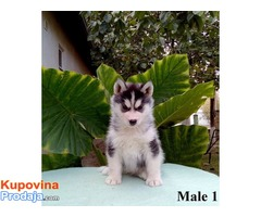 Sibirski Haski, štenci šampionskog porekla