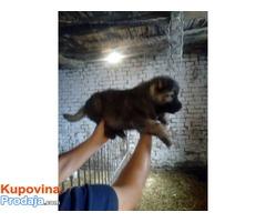 KAVKASKI OVCAR - kvalitetni stenci i odrasli psi