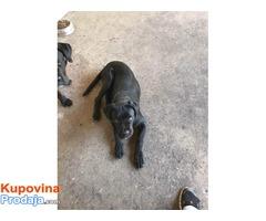 CANE CORSO mladi kvalitetni psi