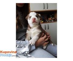 Prodajem štene sibirskog haskija