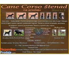 Cane Corso štenad na prodaju