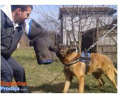 BELGIJSKI OVCAR - Malinoa, odrasli psi