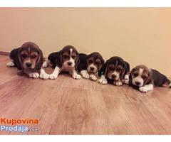 Trobojni bigl štenci