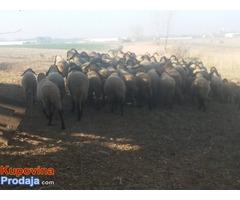 Prodajem stado 60 sjagnjenih ovaca
