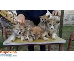 Akita Inu, štenci