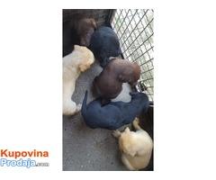 Labrador retriever stenci braon i crni
