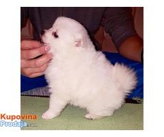 Pomeranski Špic, muško štene