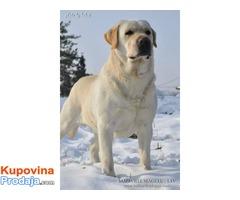SLOBODNI ZA PARENJE Labradori