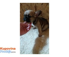 Francuski buldog štenci na prodaju