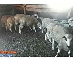 Umatičena sjenička jagnjad