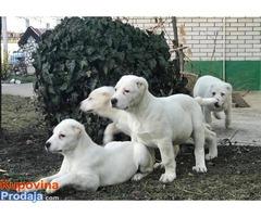 Stenci Srednjazijskog ovcara