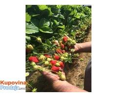 Na prodaju sadnice jagode I maline