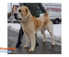 Srednjeazijski ovcar, mlad muzjak