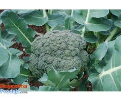 Brokoli semenke