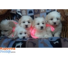 Coton de Tulear - Prelepi štenci