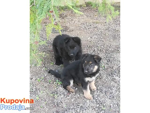 Na prodaju mužjak i ženka nemačkog ovčara radna linija