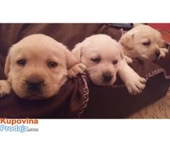 Labrador štenci prelepi