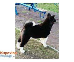 AMERIČKA AKITA - žensko štene šampionskog porekla