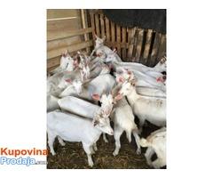 Koze i jarići na prodaju