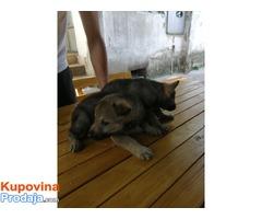 Чешкословачки вучији пас штенци