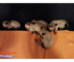 Sijamski mačići