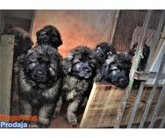 Šarplaninci štenad i mladi psi