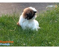 Shih Tzu štene