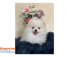 Slatka i razigrana štenaca Teacup Pomeranian za prodaju