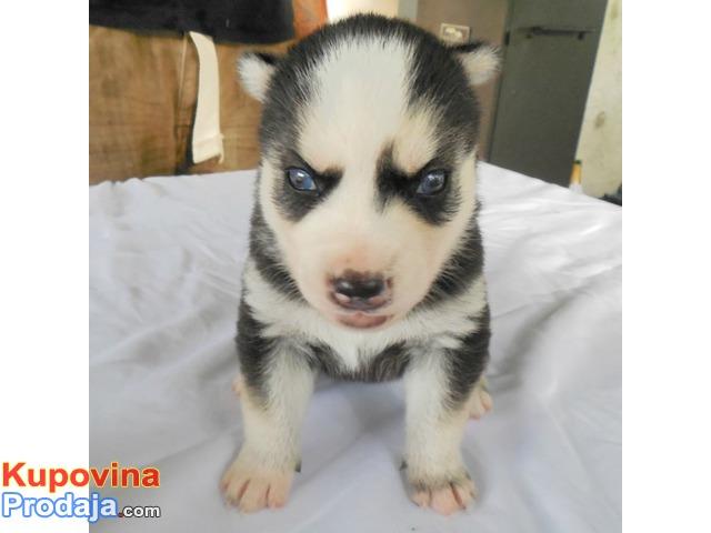 Registrirani štenci Siberian Husky za prodaju.