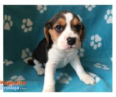 Veliki muški i ženski beagle štenci za prodaju