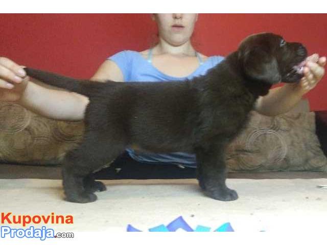 Labrador retriver štenci čokoladni i crni