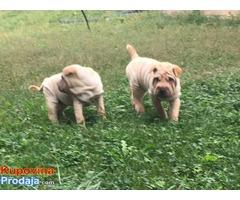 Šar pej (Shar pei) štenci