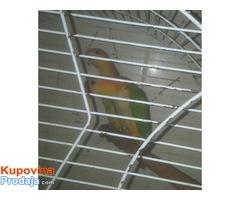 Papagaji - riđokapi medvedići
