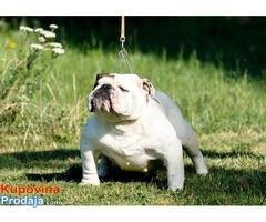 Zbog prestanka bavljenja rasom engleski buldog oglasavam prodaju svih pasa . Kuje su stare od 15mese