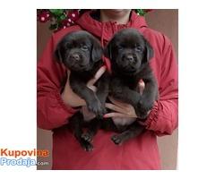 Čokoladni štenci Labrador Retrivera