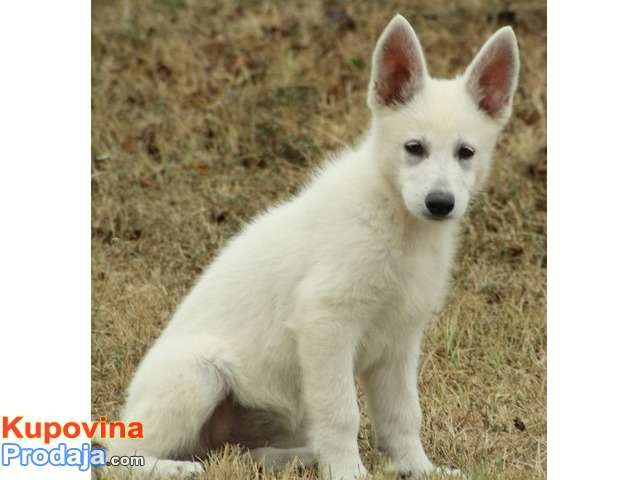 Beli švajcarski ovčar, prvobirano žensko štene