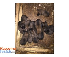 Belgijski ovčar štenci