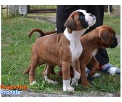 Bokser štenci na prodaju