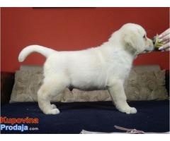 Labrador retriver, crni i žuti (beli) štenci