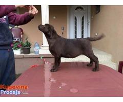 Labrador retriver, čokoladni štenci