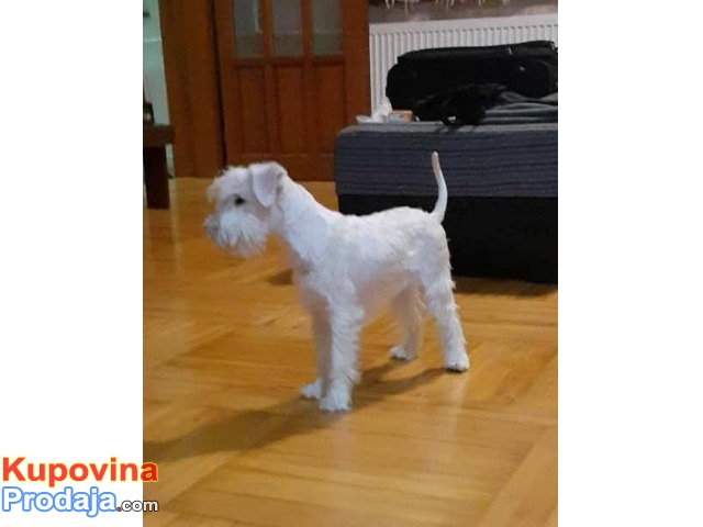 Patuljasti šnaucer, belo žensko štene